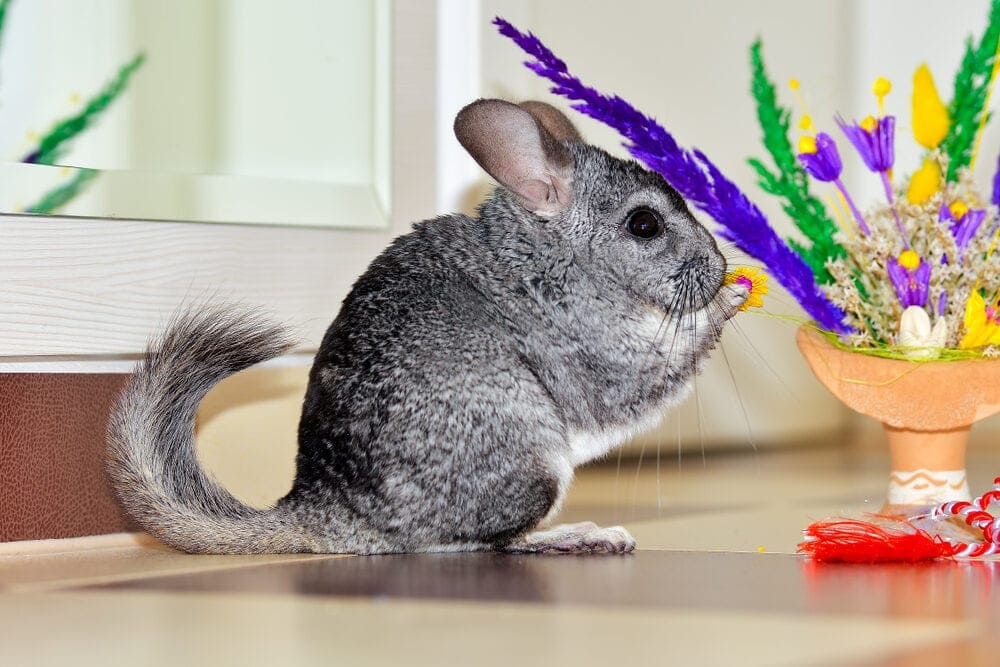 chinchilla cute e1591447281538