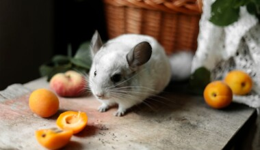 chinchilla eat apricots e1591970288727