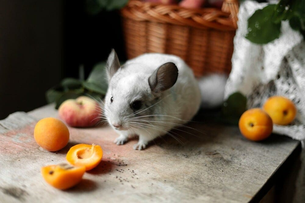 Can Chinchillas Eat Fruits?