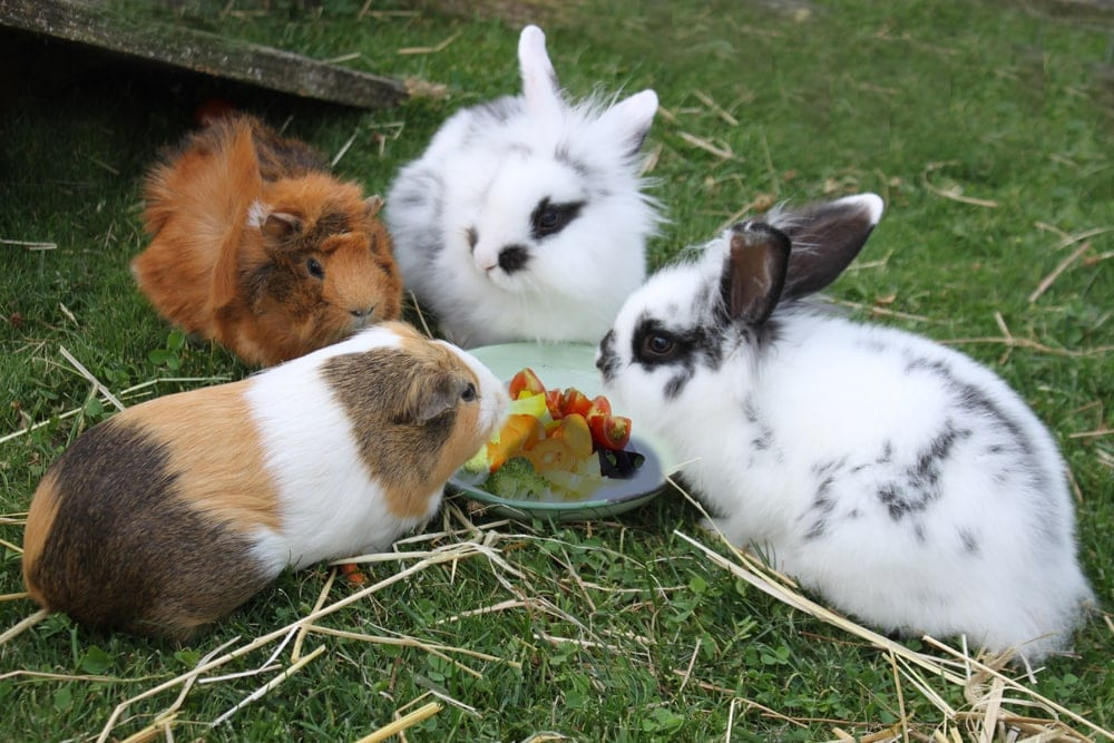 chinchilla eats with rabbits
