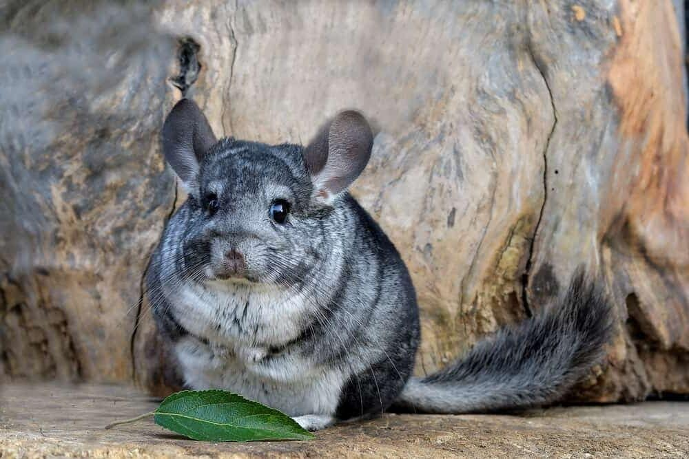chinchilla fat e1591447295986