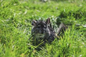 chinchilla grass