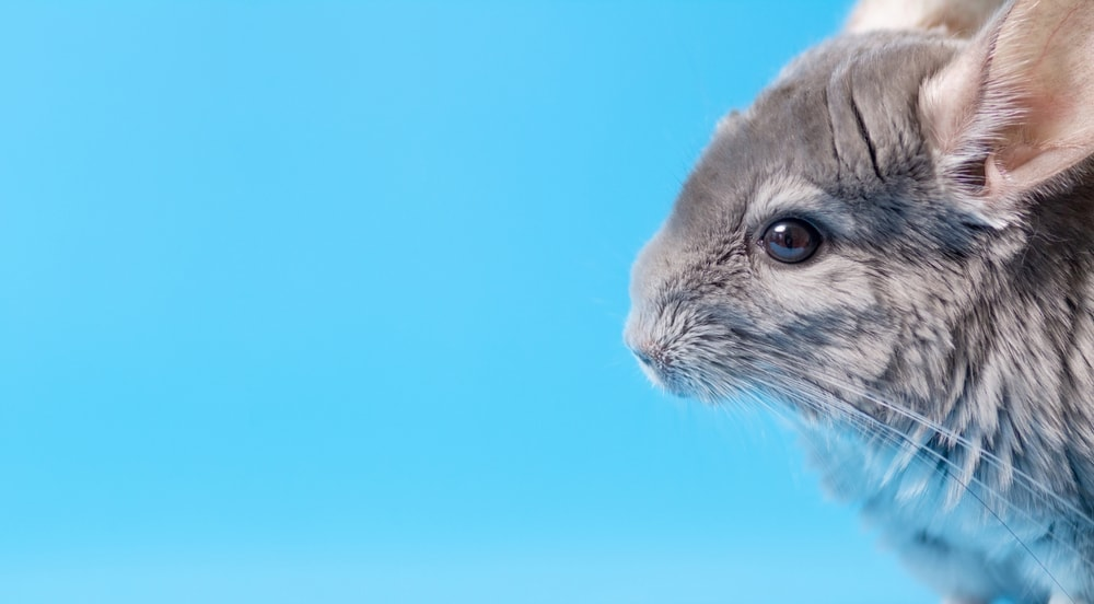 chinchilla grey money