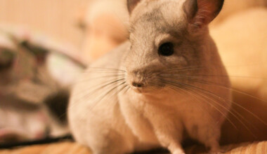 chinchilla happy