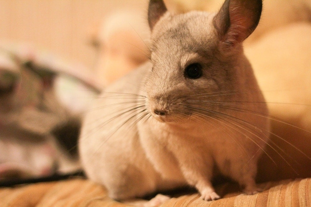 4 Reasons Why Your Chinchilla Lose its Fur
