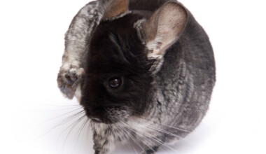chinchilla has fleas
