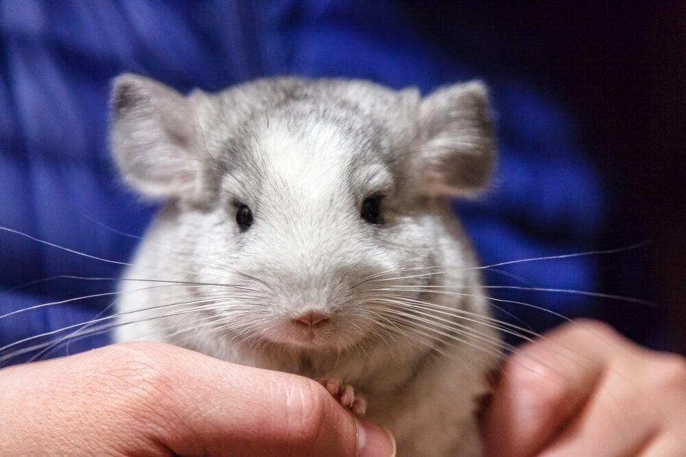chinchilla in a hands e1591447272197