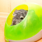 Why Do Chinchillas Bathe in Dust?