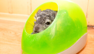 chinchilla in a sand