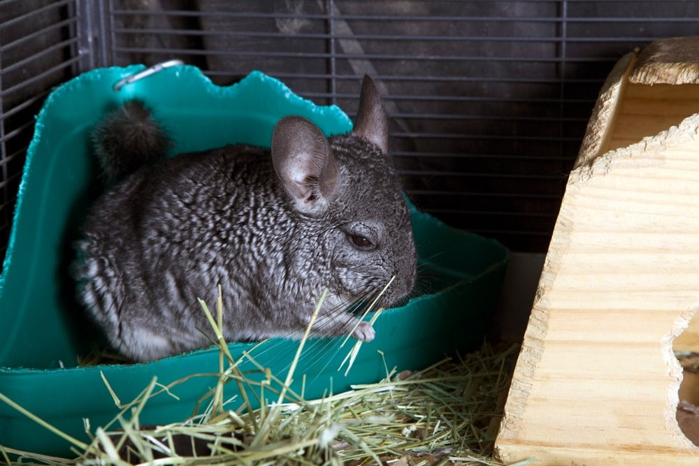 chinchilla in a toilet