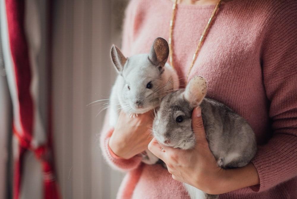 chinchillas in hands