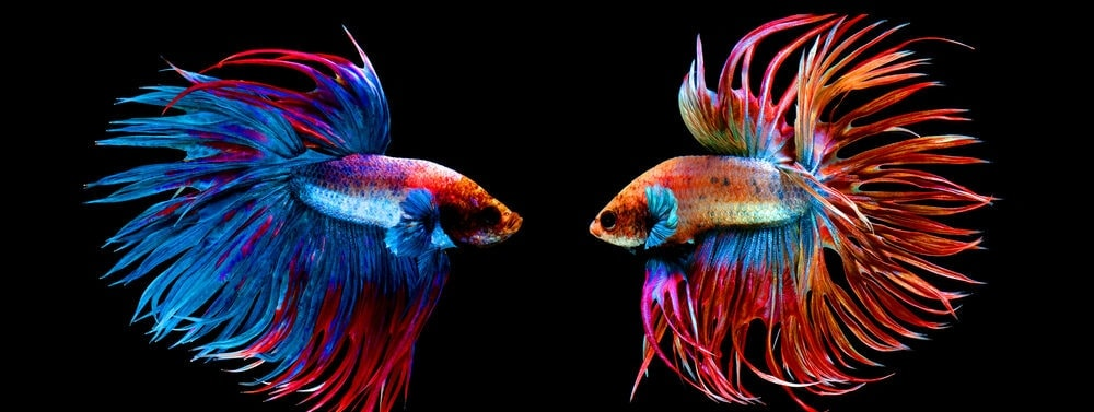 couple Crowntail Betta e1591438808425