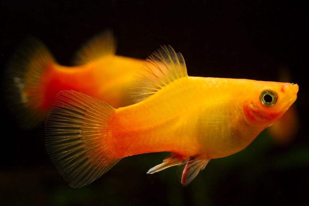 couple gold platy fish