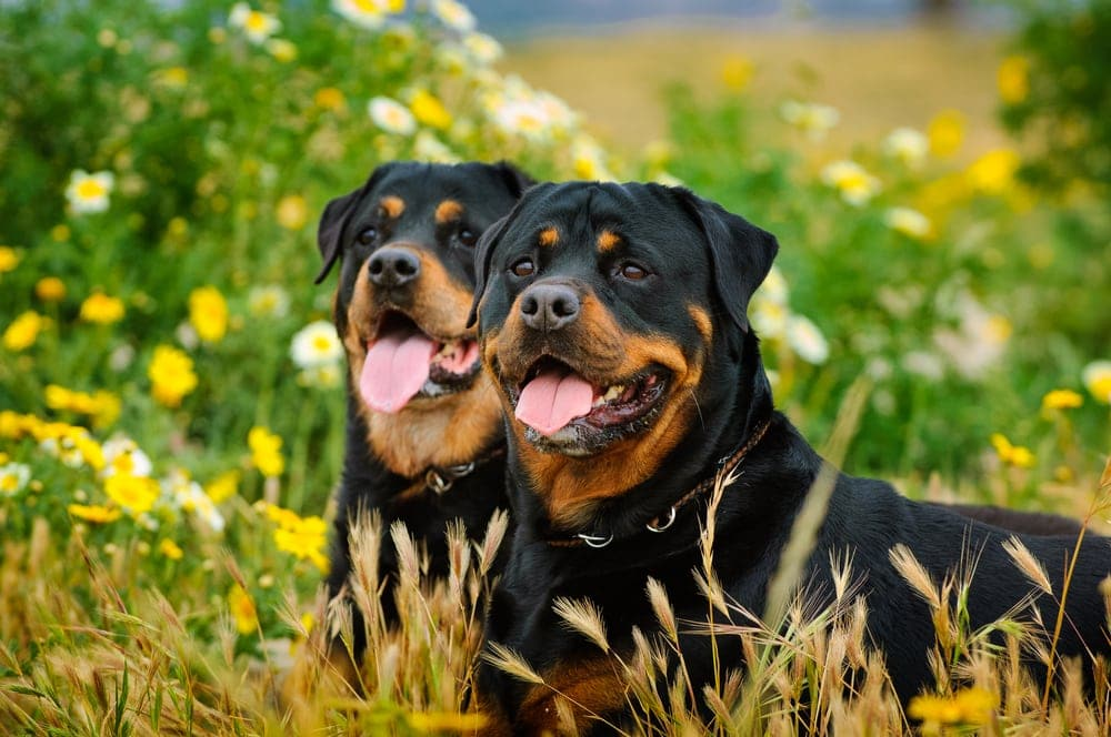 couple rottweilers in the yard