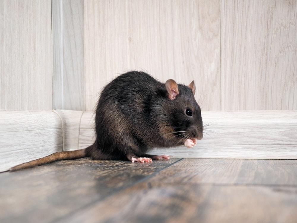 cte rat 1