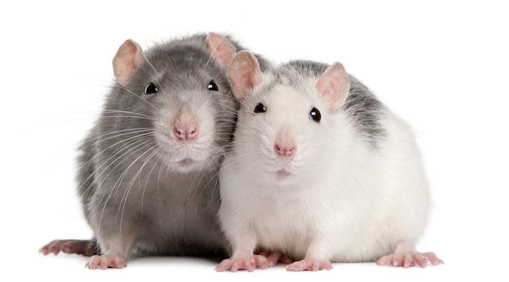 cute rat couple