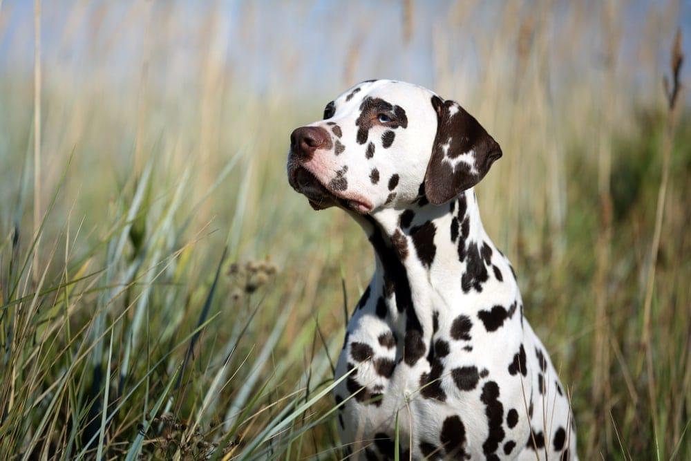 dalmatian in a grass