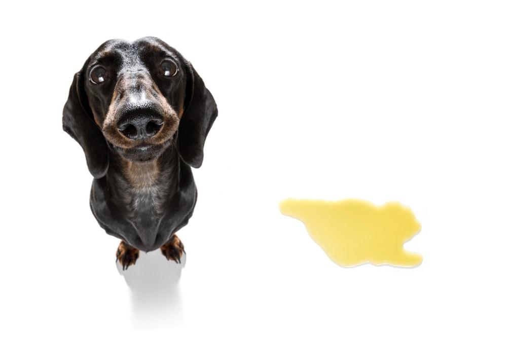 dashhund and urine