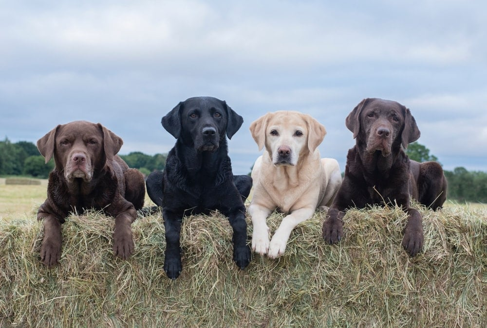 different colors labradors