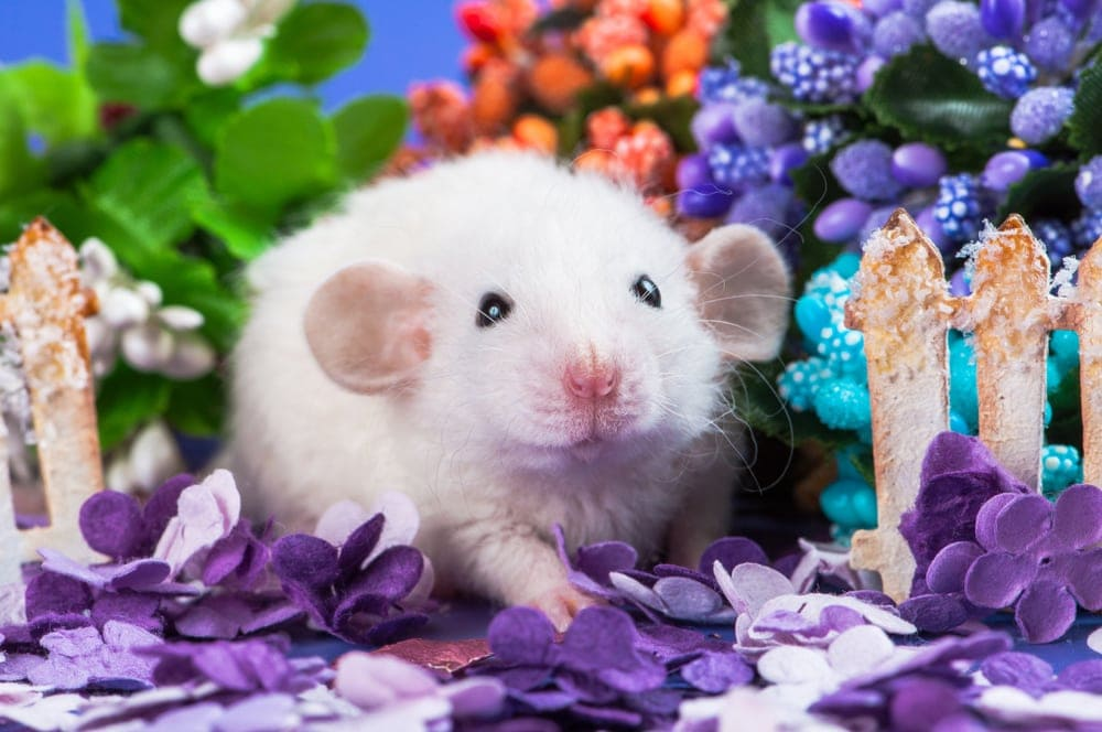 dumbo rat and flowers