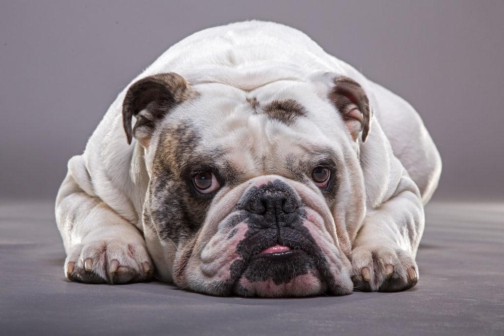 english bulldog sleeps