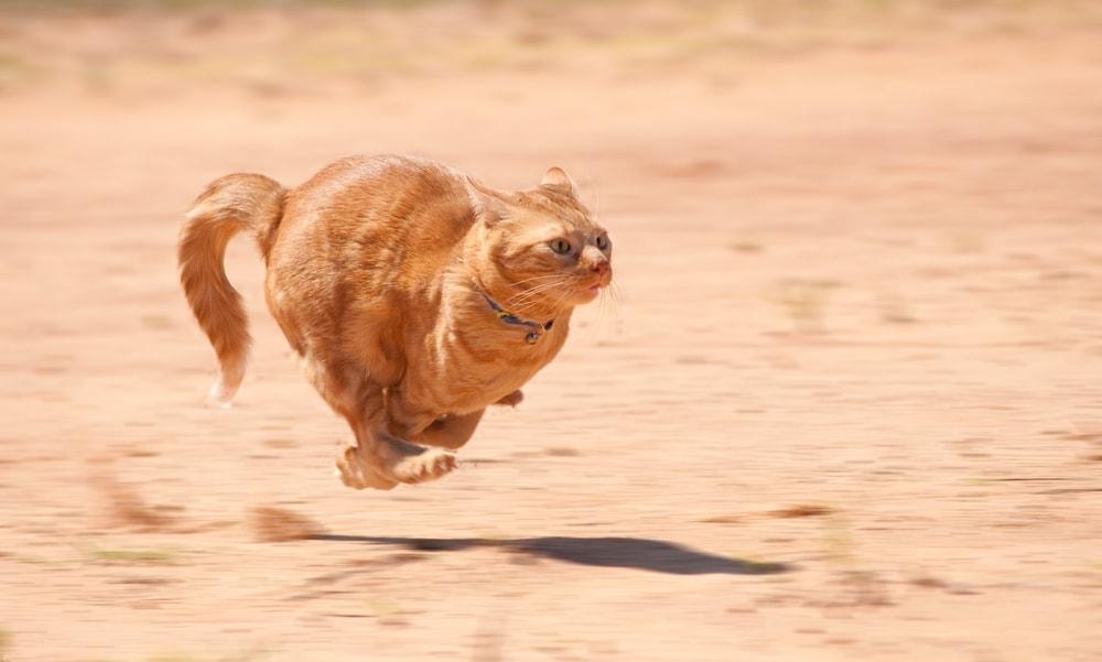 fast runnung cat