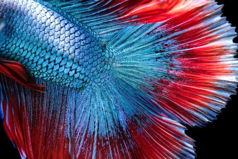 fish tail 1