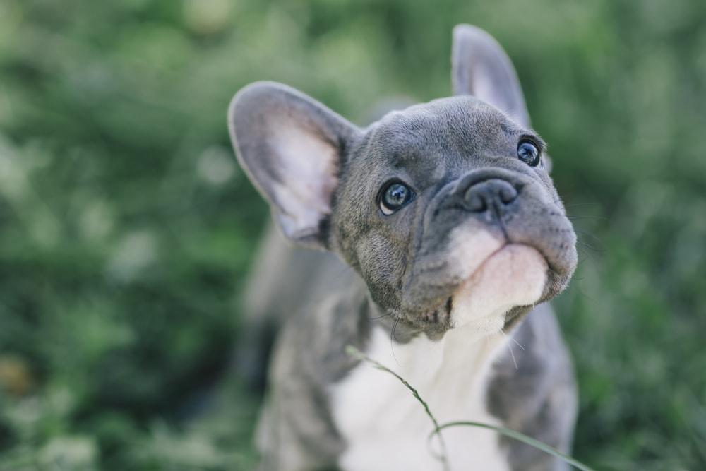 french bulldog blue puppy