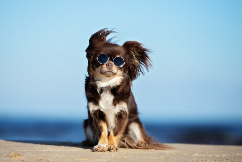 funny chihuahua in glasses