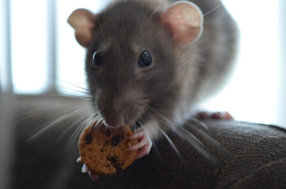 grey rat and cookie