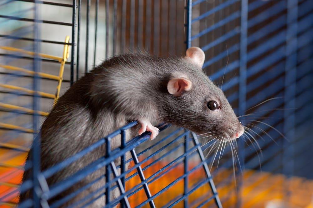 grey rat in a cage