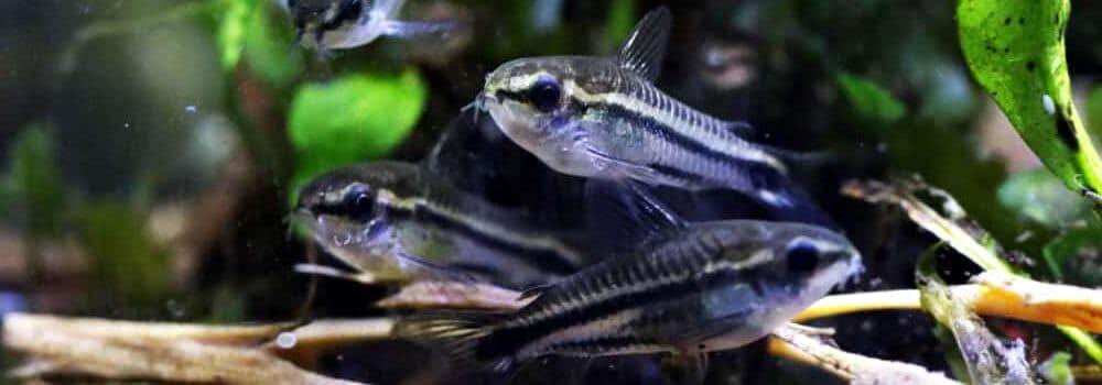 group of Pygmy Cory e1591443046777