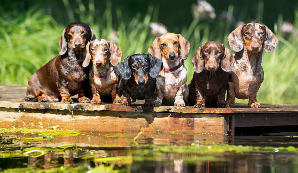 group of dachshunds near the lake