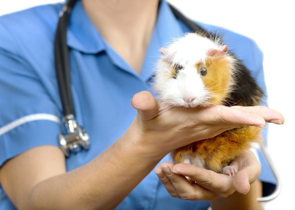 guinea pig at veterinary