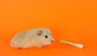 guinea pig eat celery