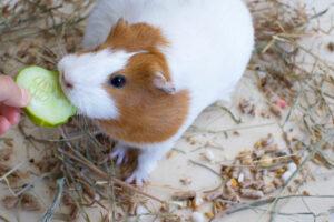 guinea pig eat cucumber