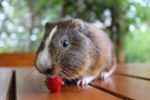 guinea pig eat strawberry