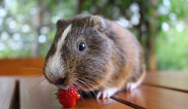 guinea pig eat strawberry