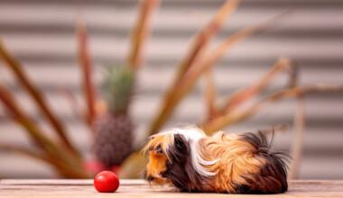 guinea pig eat tomato