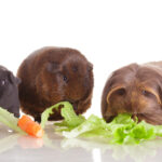 Guinea Pig Food List: Things They Can Eat