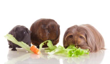 guinea pigs eat veg
