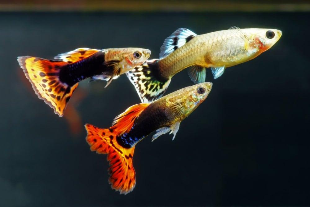 guppy in aquarium