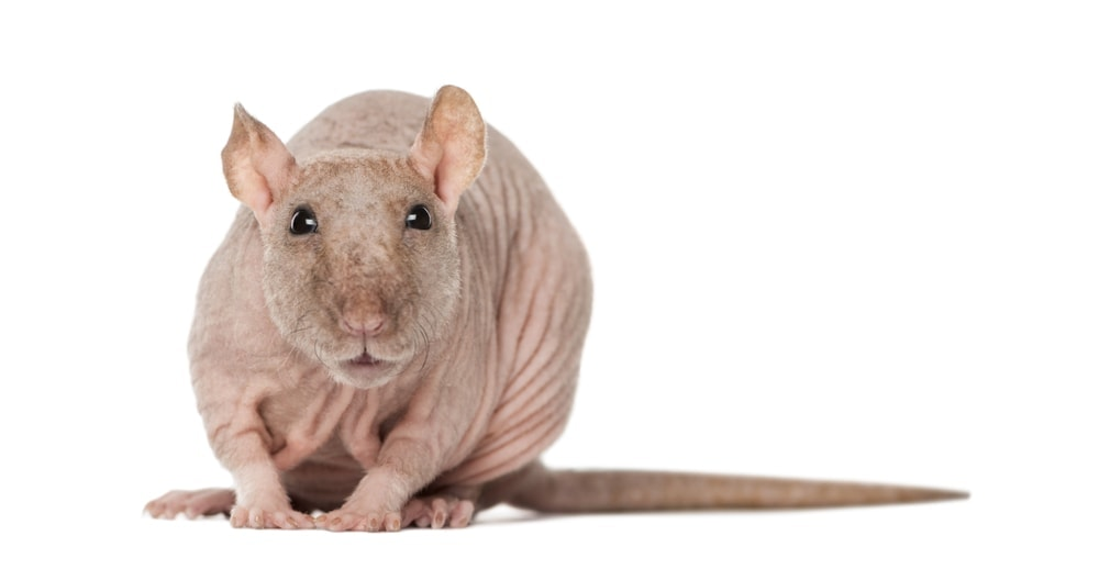 hairless cute rat