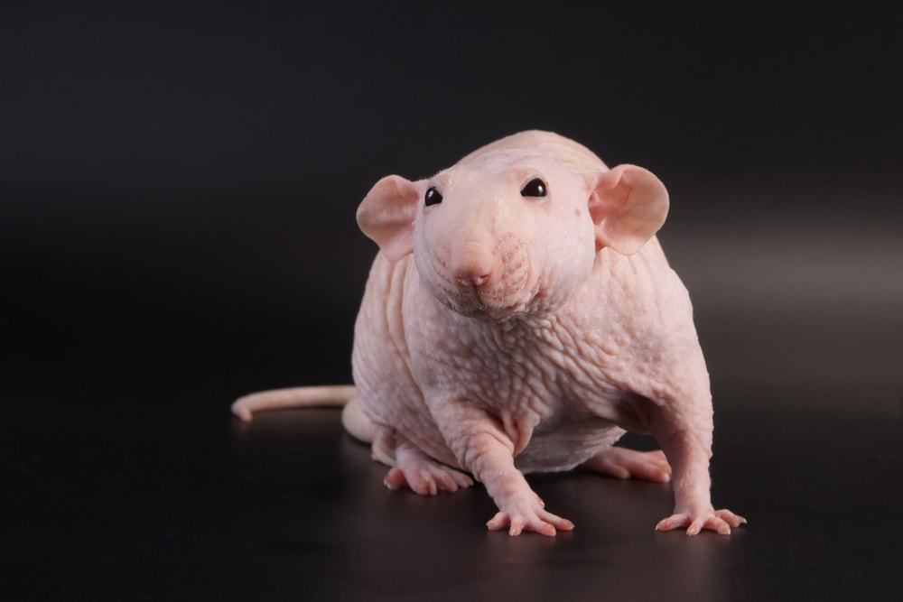hairless dumbo rat