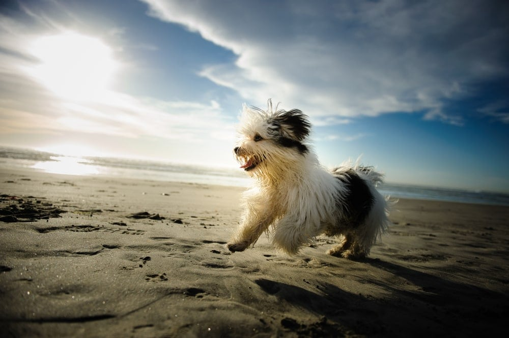 havanese at sea side