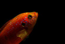 Jewel Cichlid Care Guide - Lifespan, Breeding & More
