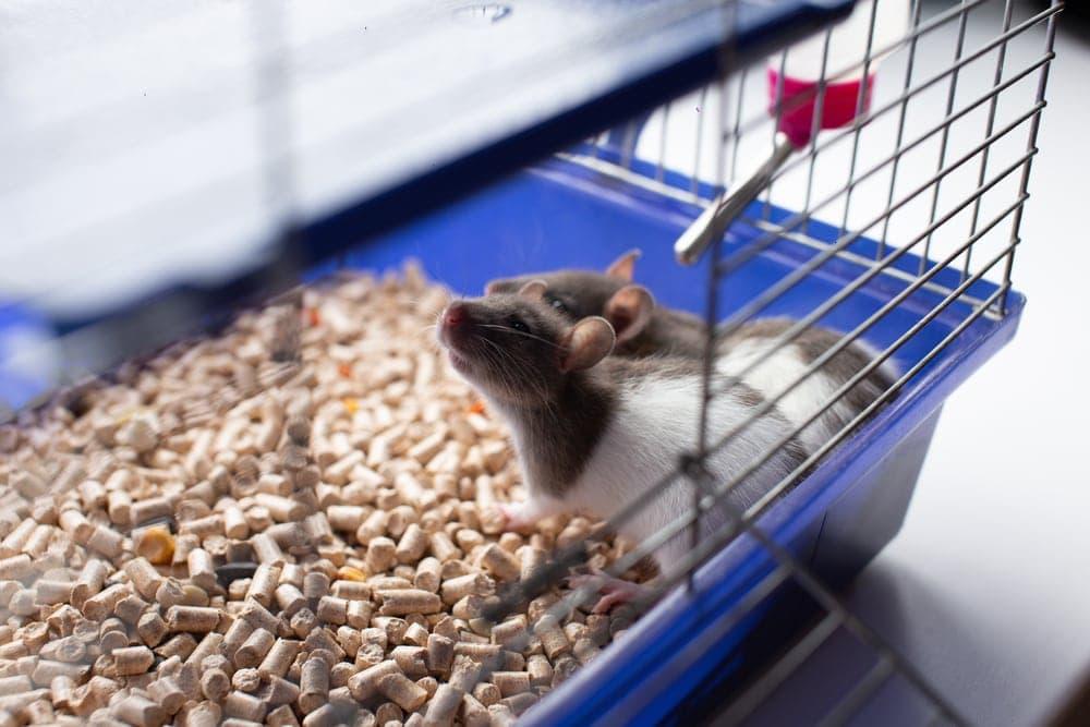 litter rat