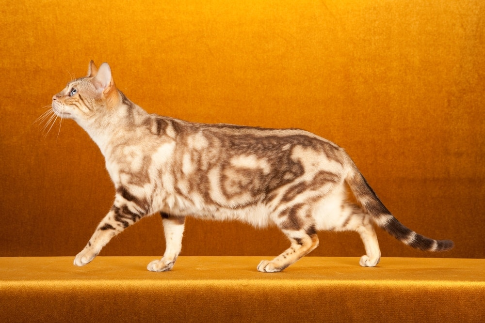 marble snow bengal cat