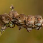 Can Pet Mice Climb?