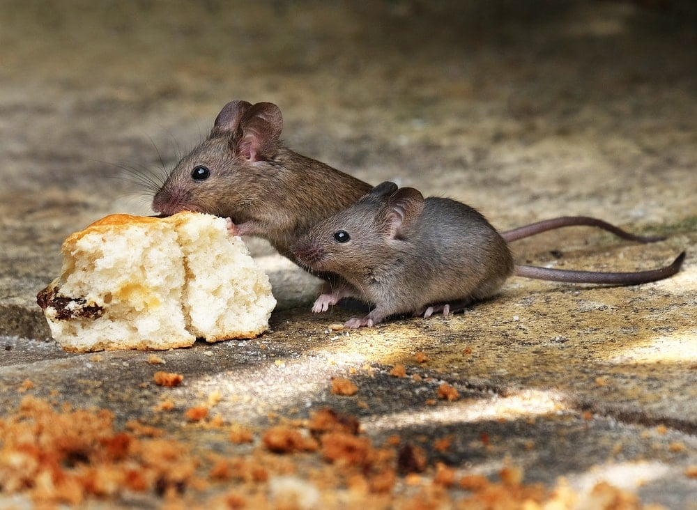 mice eats
